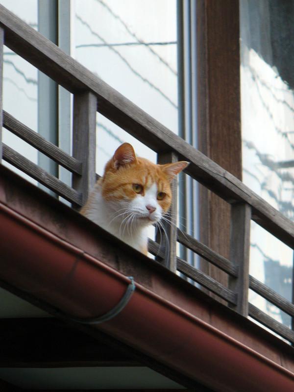 高欄から顔を出す茶白猫1