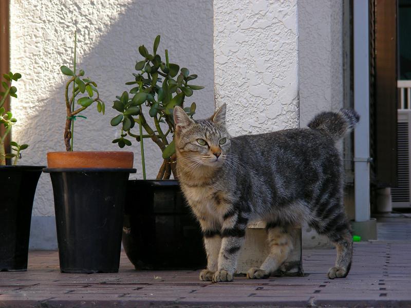 歩いて出てきたキジトラ猫2