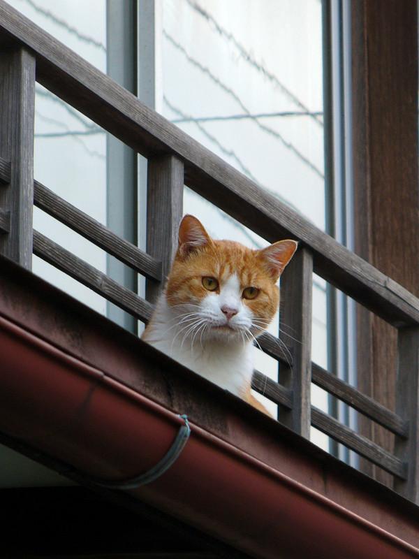 高欄から顔を出す茶白猫2