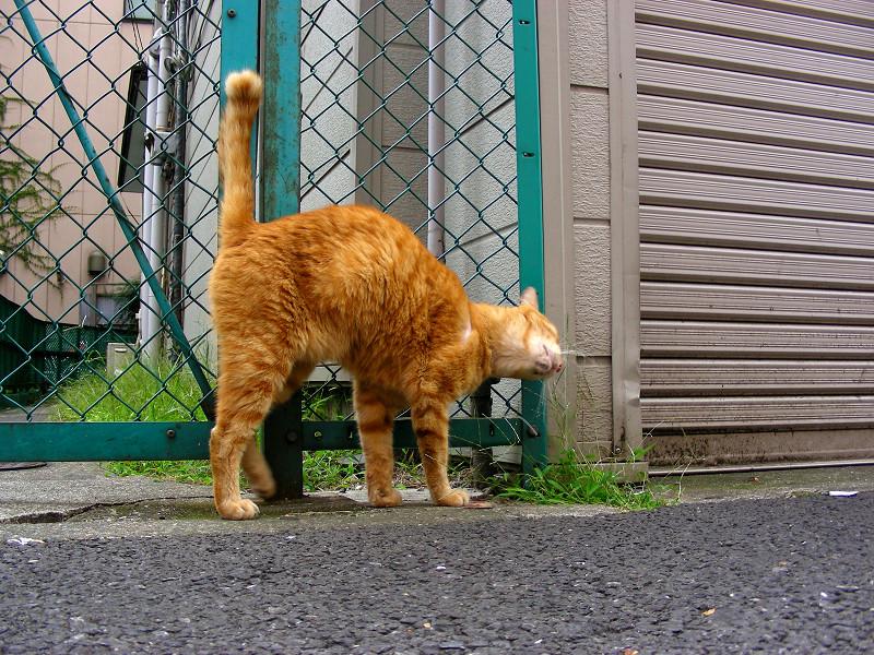歓楽街の茶白猫3