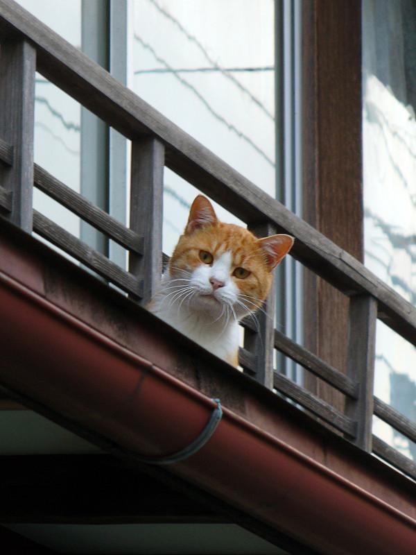 高欄から顔を出す茶白猫3