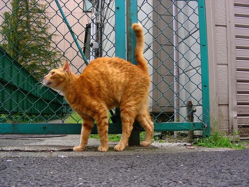 歓楽街の茶白猫4