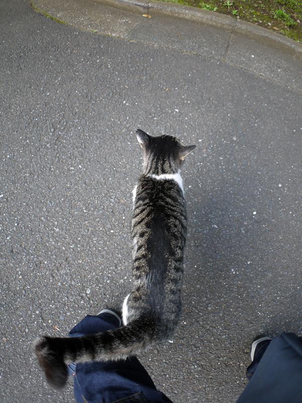 尻尾で絡むキジ白猫3