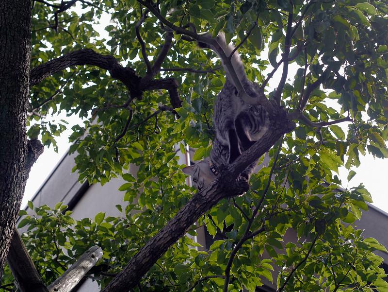 木の枝のサバトラ猫1