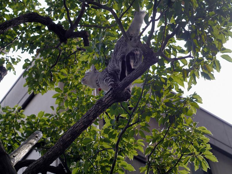 木の枝のサバトラ猫2