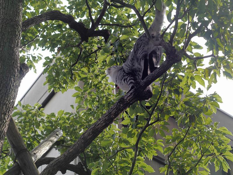木の枝のサバトラ猫3