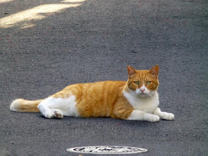 裏路地の茶白猫1