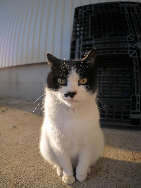 硬直気味の白黒猫2