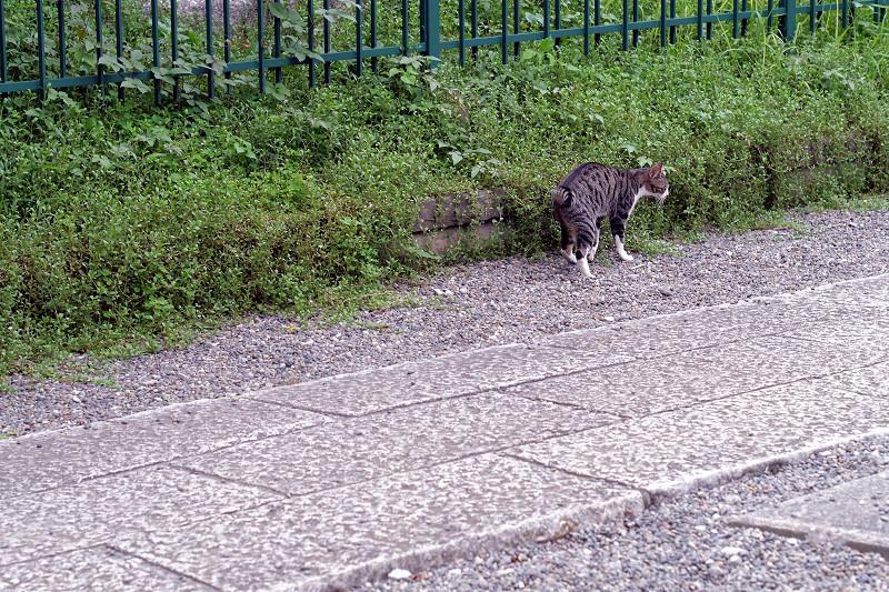 玉砂利とキジ白猫3