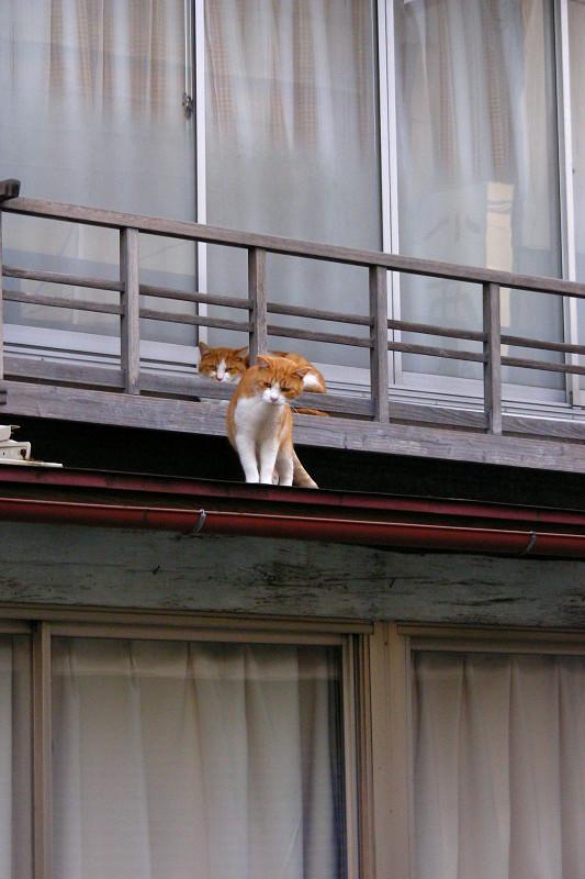 高欄から出て来た茶白猫1
