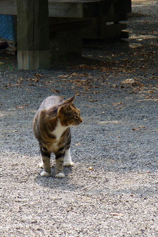 歩いてくキジ白猫1