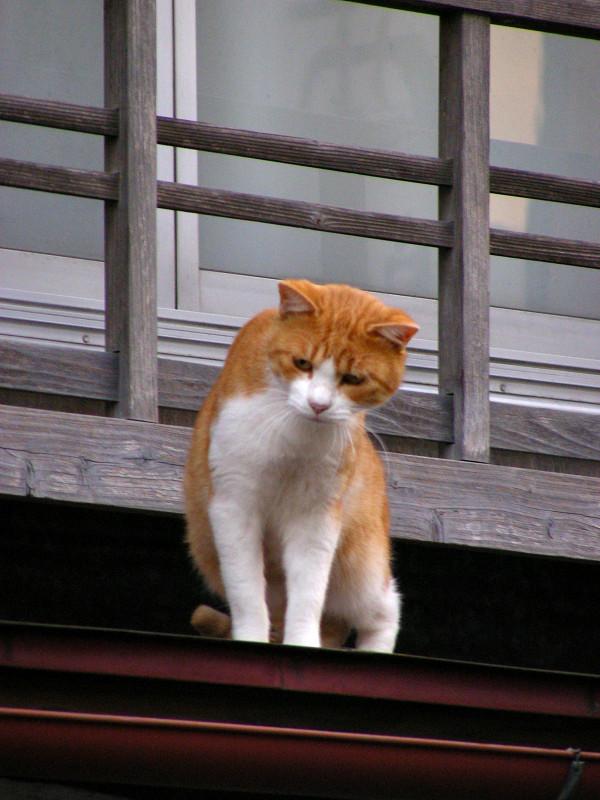 高欄から出て来た茶白猫2