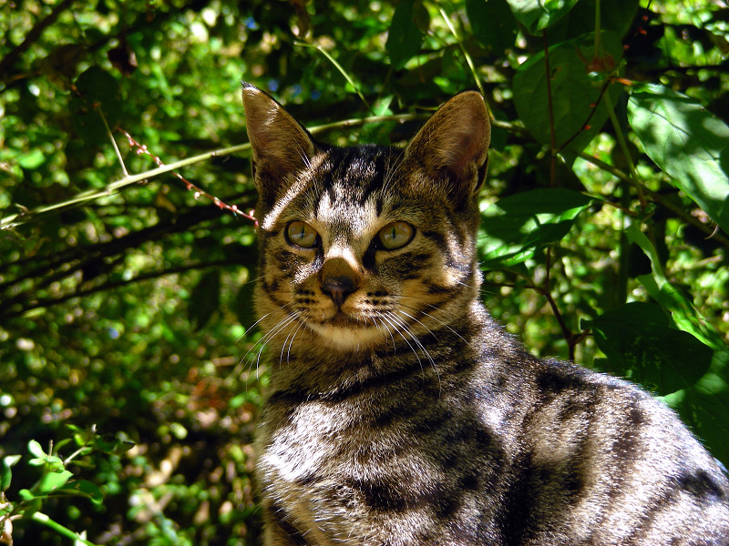 茂みのキジトラ猫2