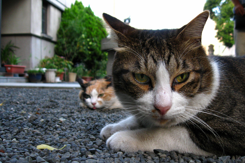 腹ばうキジ白猫2