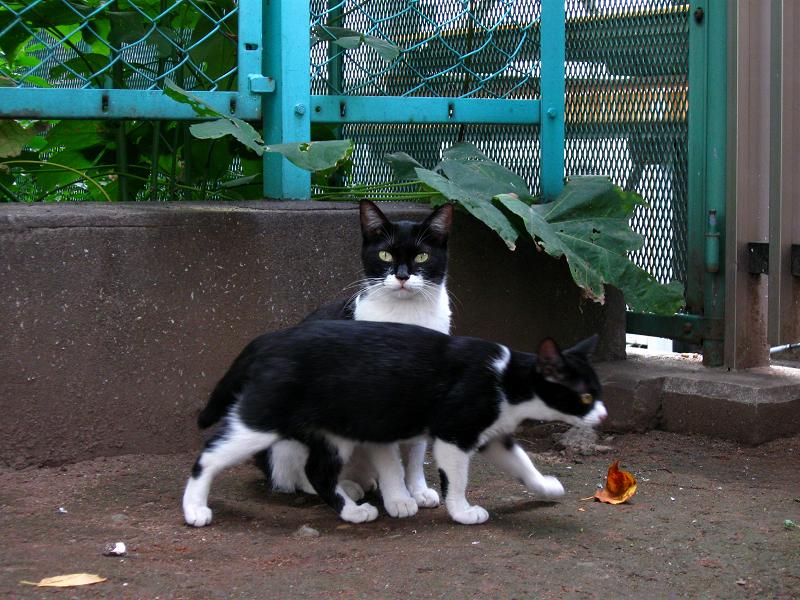 公園の黒白親子猫1