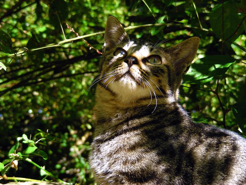 茂みのキジトラ猫3