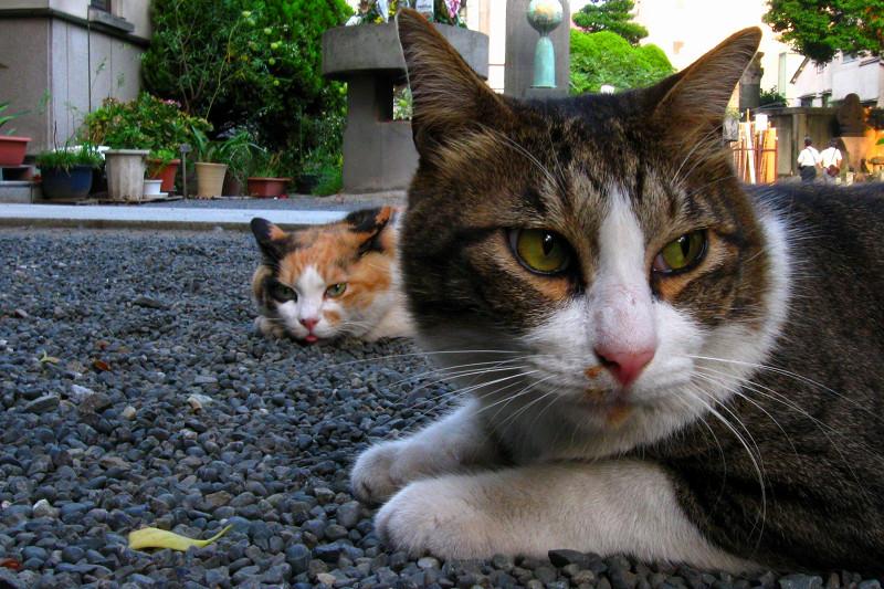 腹ばうキジ白猫3