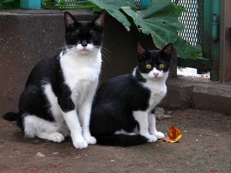 公園の黒白親子猫2
