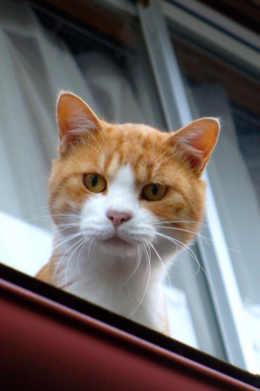高欄から出て来た茶白猫3