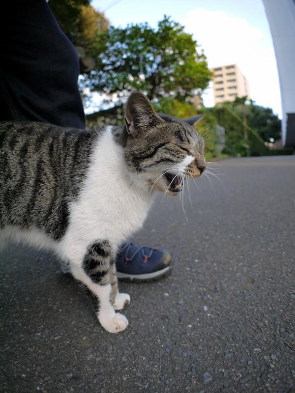 足元で鳴いてるキジ白猫1
