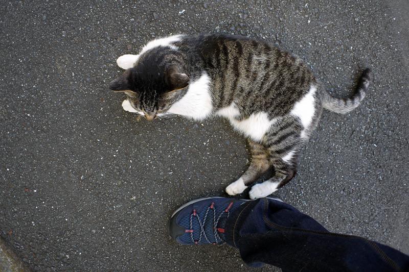 足元をうろつくキジ白猫3
