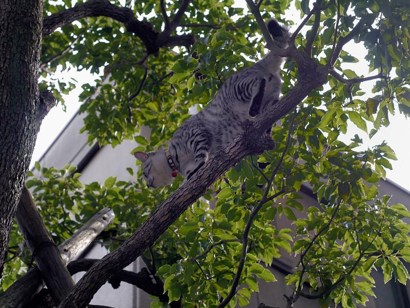 木の上で動くサバトラ猫1