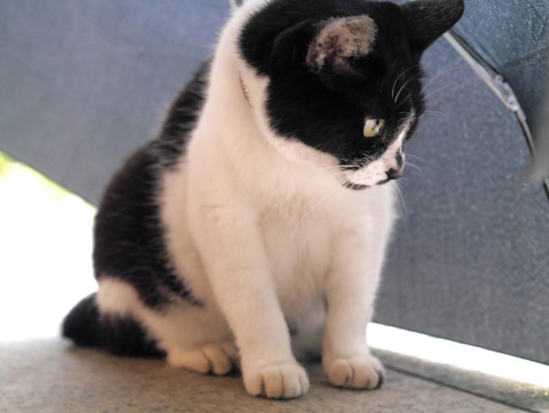 傘に入ってる白黒猫1