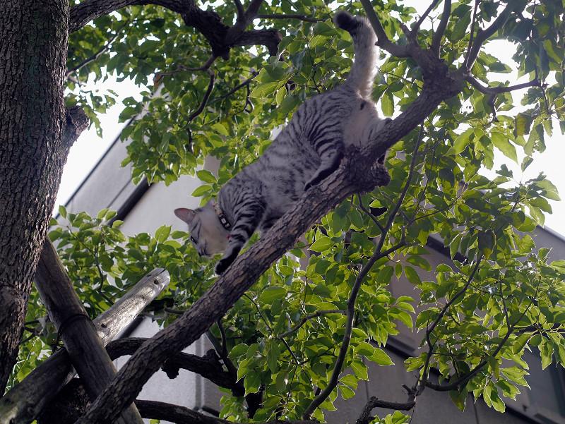 木の上で動くサバトラ猫2