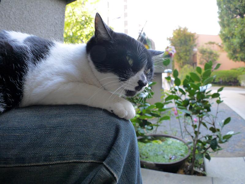 膝で寛ぐ白黒猫2
