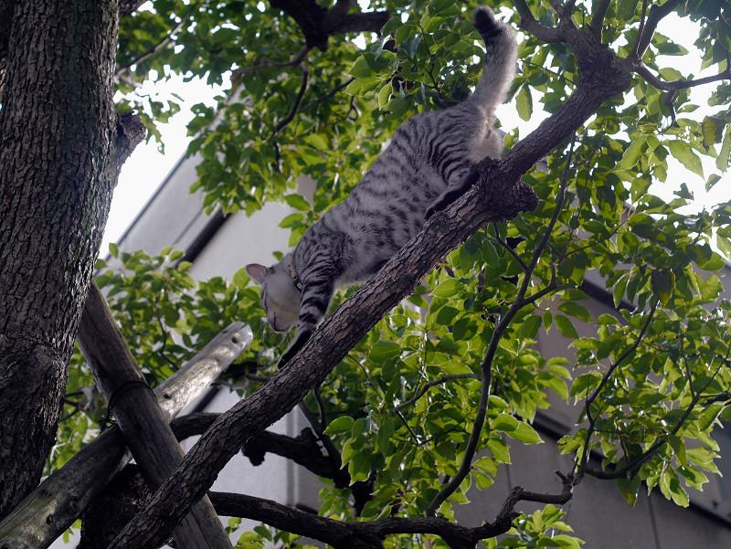 木の上で動くサバトラ猫3