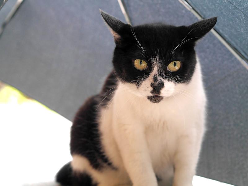 傘に入ってる白黒猫3