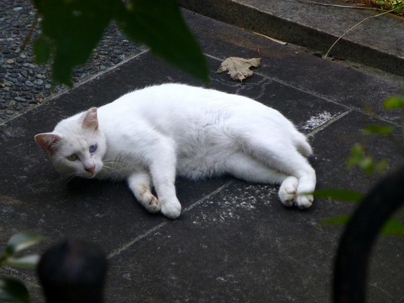 横になってる白猫1