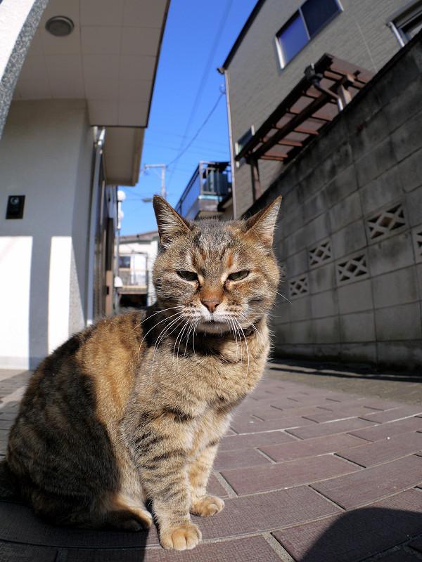 カメラを見つめるサビ柄猫1