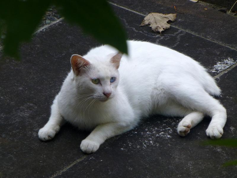 横になってる白猫2