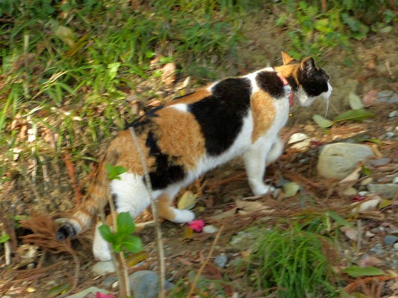 草むら斜面と三毛猫2