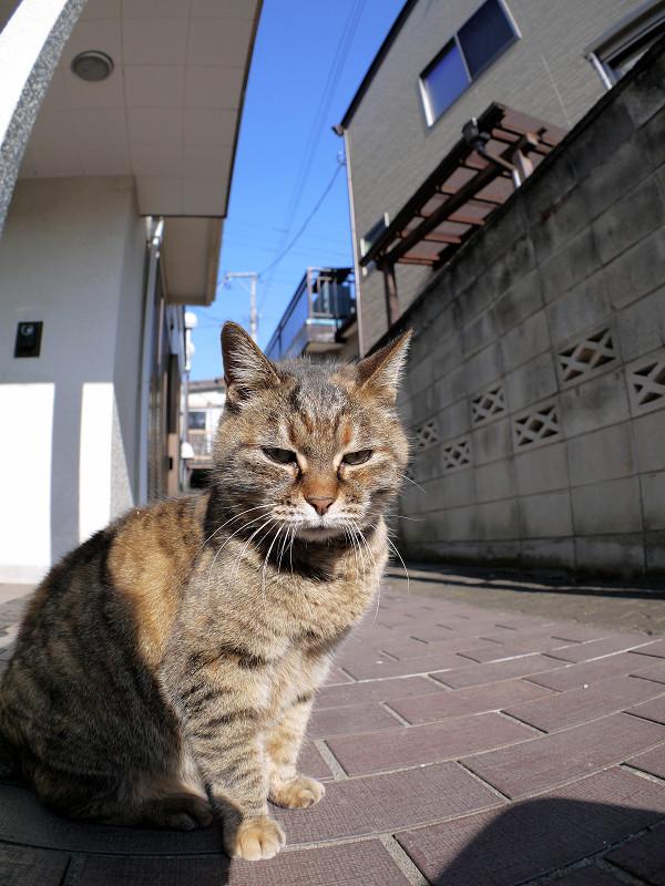 カメラを見つめるサビ柄猫2