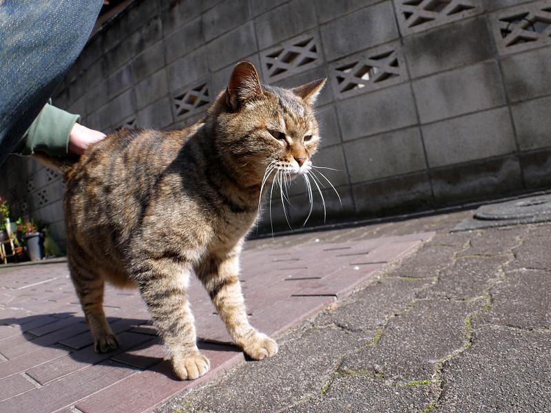カメラを見つめるサビ柄猫3