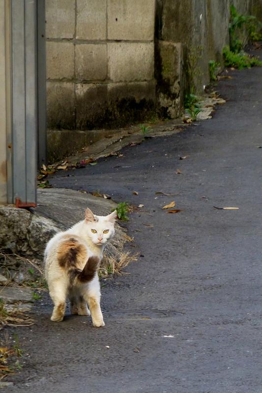 路上で振り返る三毛猫