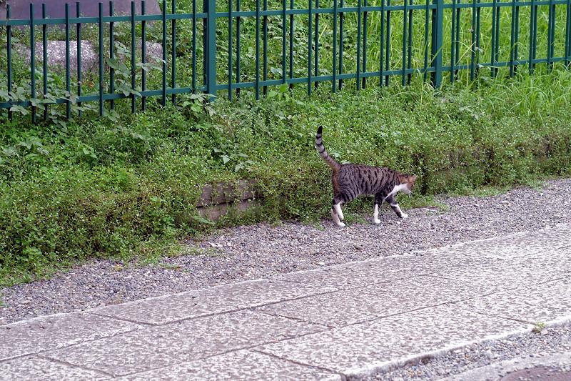 歩いてるキジ白猫1