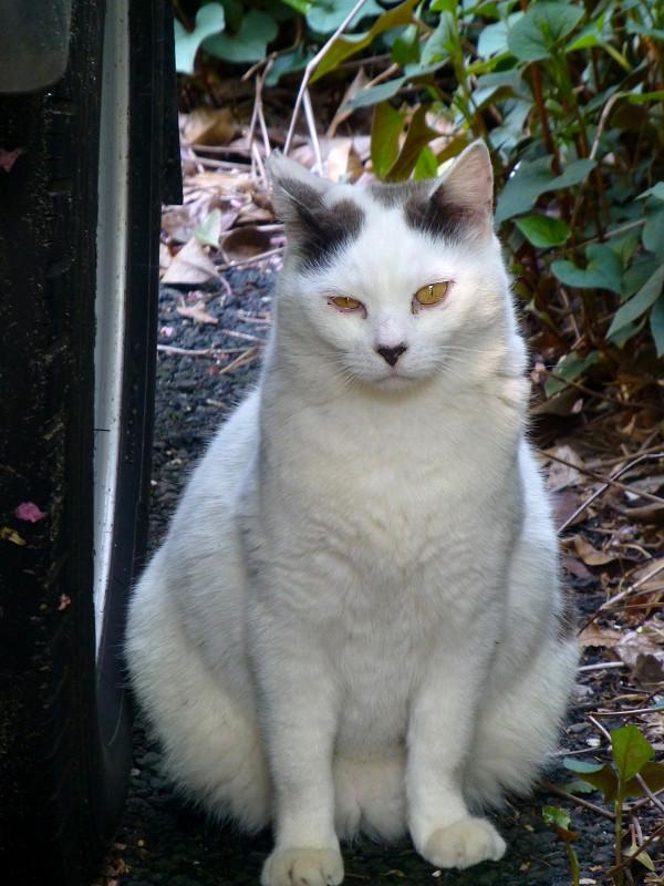 駐車場の白黒猫2