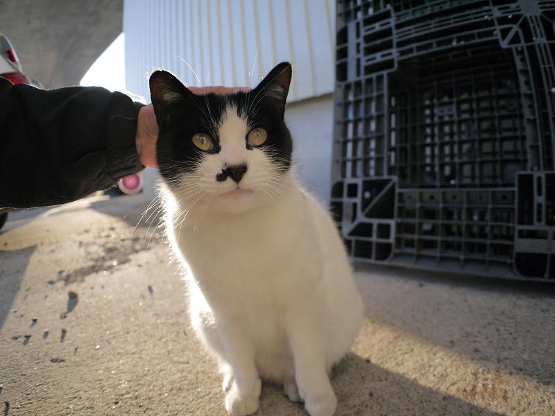 頭を撫でられる白黒猫2
