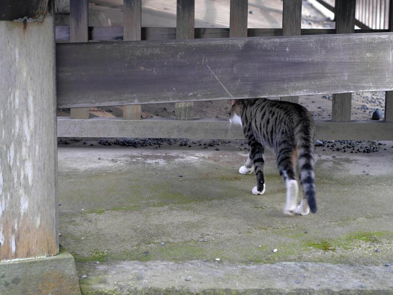歩いてるキジ白猫3