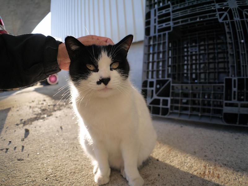 頭を撫でられる白黒猫3