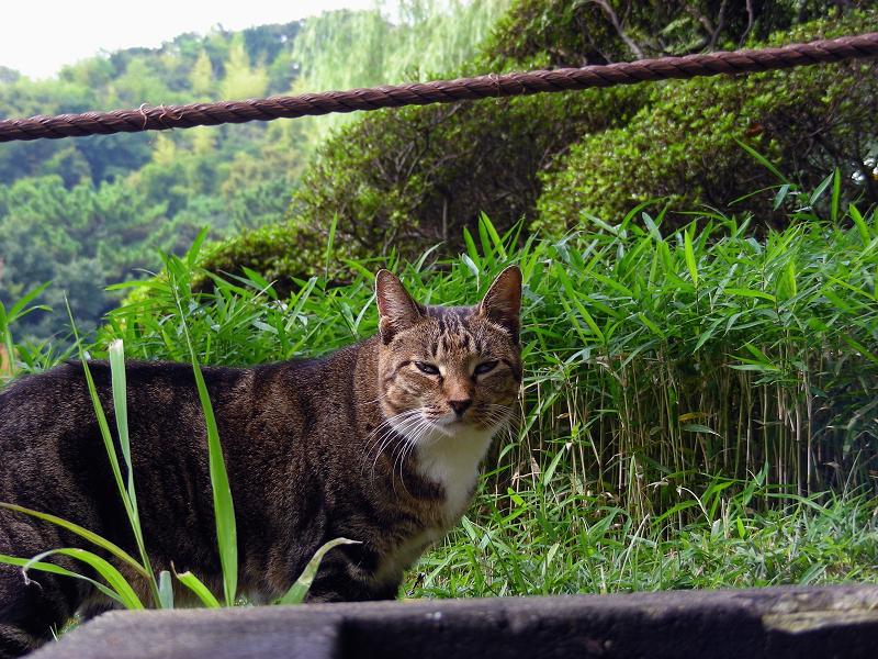 庭園のキジ白猫1