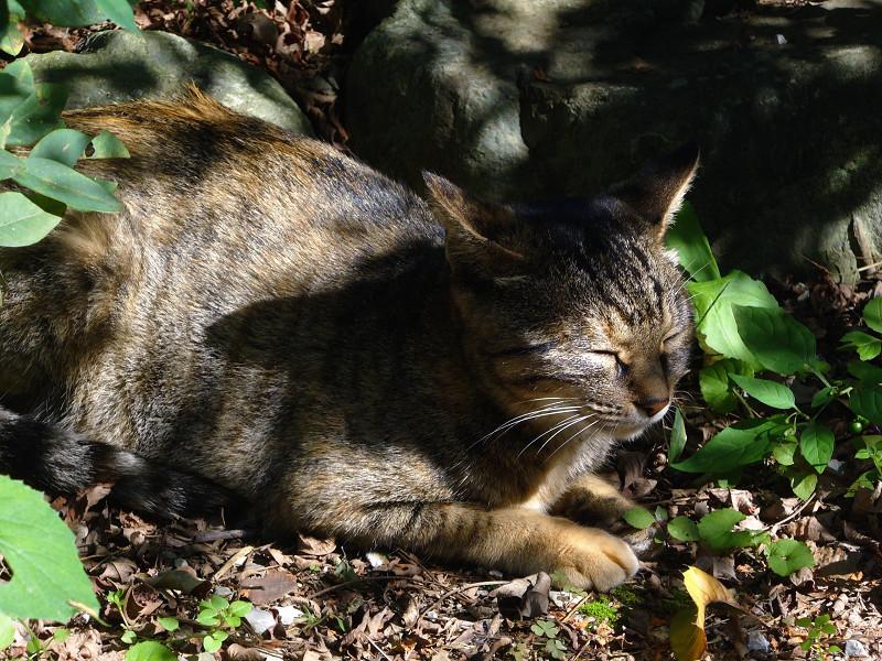 日向ぼっこのキジトラ猫1