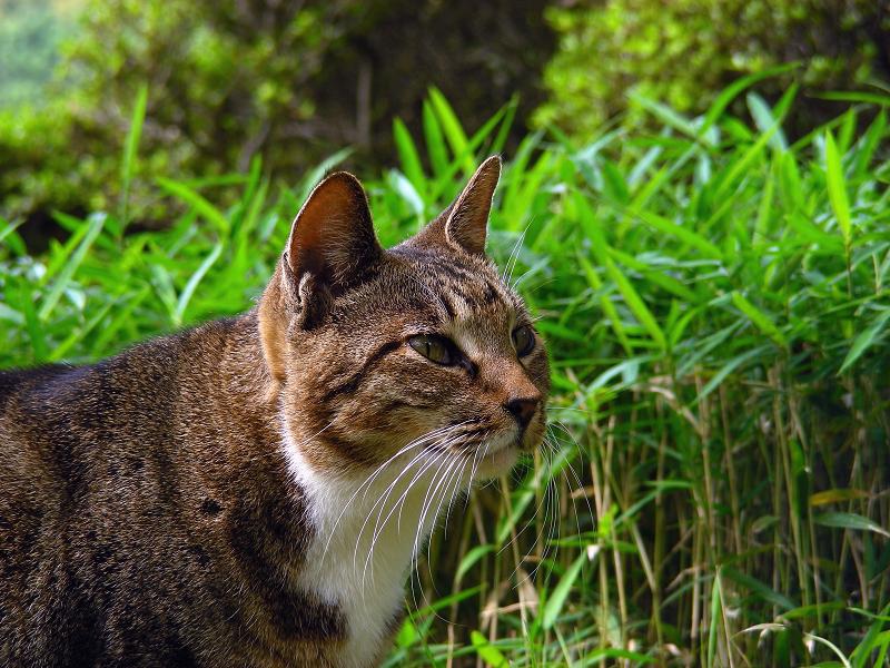 庭園のキジ白猫2