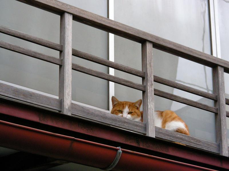 高欄から動かない茶白猫2