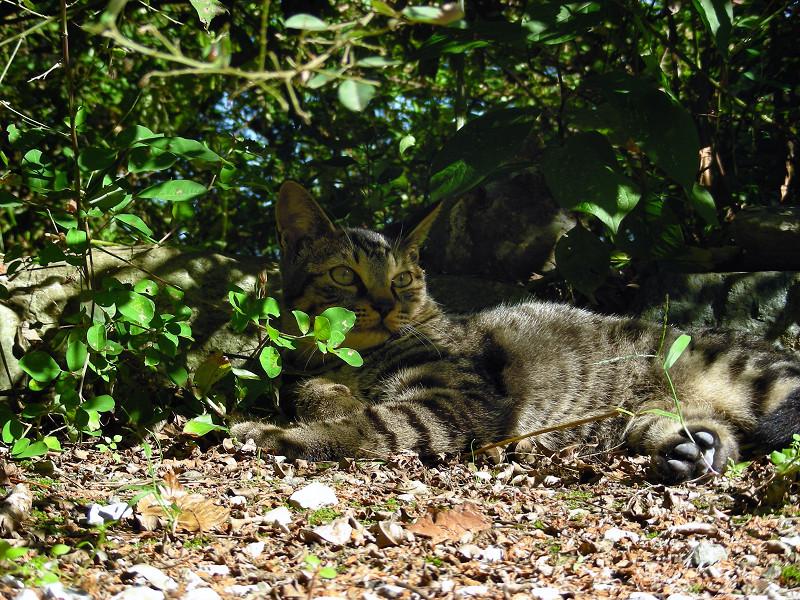 日向ぼっこのキジトラ猫2
