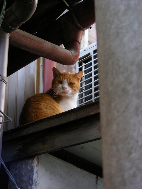 高欄から動かない茶白猫3
