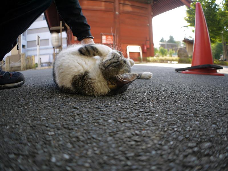門前のキジ白猫1